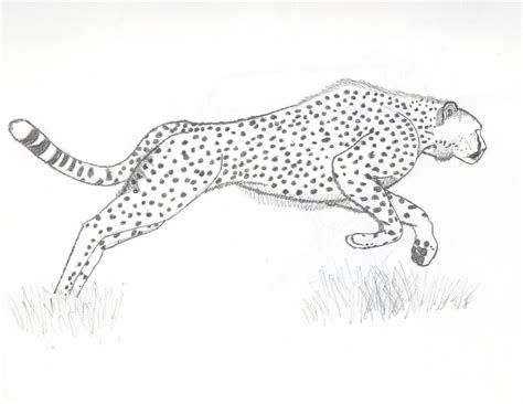 Running Cheetah Outline by Cheetah By Flavivsaetivs On Deviantart