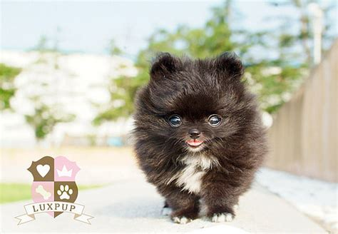 medium sized pomeranian 5130672261 f939165f7c z jpg
