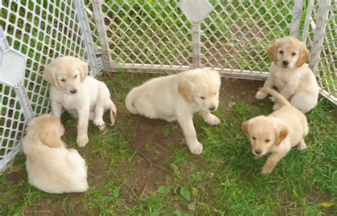 mini golden retriever puppies miniature golden retriever a k a comfort retriever breed info animalso