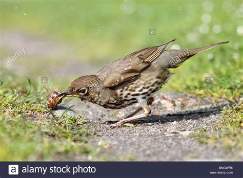 song thrush turdus philomelos eating a snail stock photo