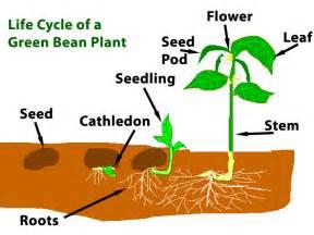 ms garcia s classroom how do plants grow
