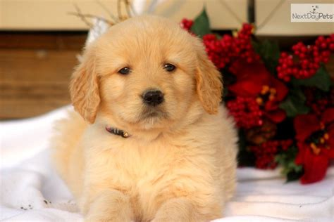 goldendoodle puppies for sale oklahoma goldendoodle puppies for sale best breeders f1b all design bild