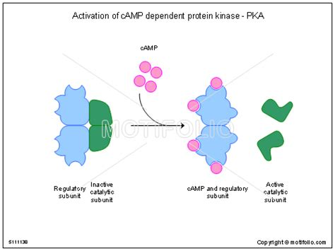 protein activation activation of c dependent protein kinase pka