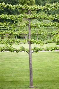tilia x euchlora pleached screening tree tree garden gift company