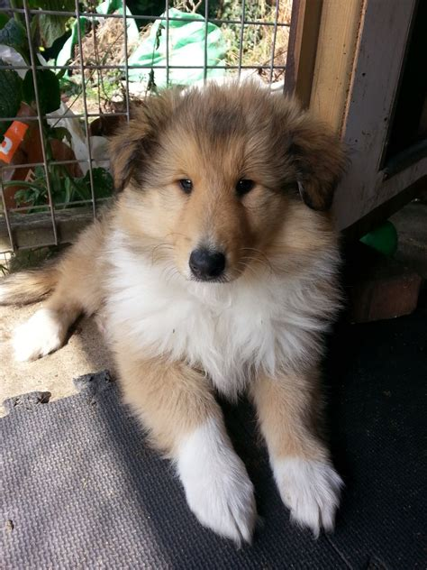 smooth collie puppies for sale smooth mix puppy for adoption in watertown south dakota pets world