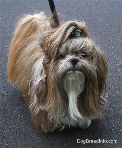 shih tzu and allergy sufferers 329 best images about dogs a z on