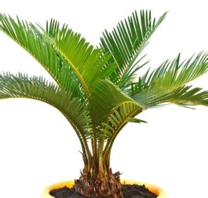 Welche Bilder by Zimmerpalmen Bilder Welche Sind Die Typischen Palmen Arten