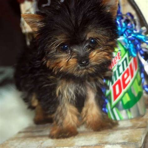 tracup yorkie pin teacup yorkies yorkie on