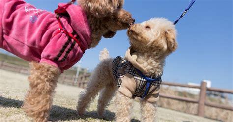 Pelatih Anjing melatih anjing melatih anjing pudel