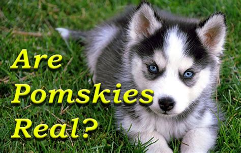 what is a pomsky puppy pomsky puppy pomsky pals