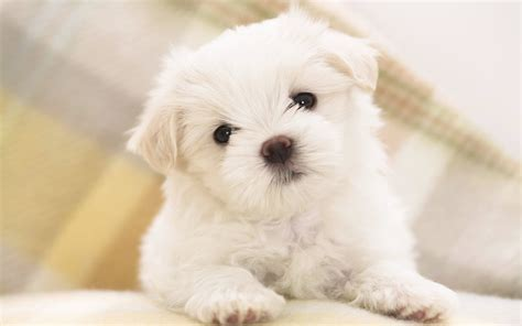 puppy wallpaper maltese puppy wallpapers hd wallpapers id 8160