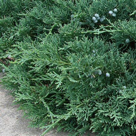 juniper bush photos