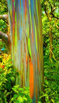 rainbow eucalyptus 301 moved permanently