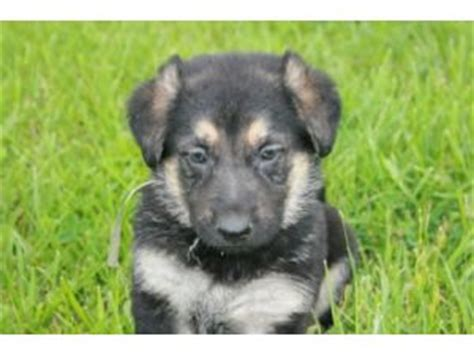 german shepherd puppies for sale missouri german shepherd puppies for sale in missouri