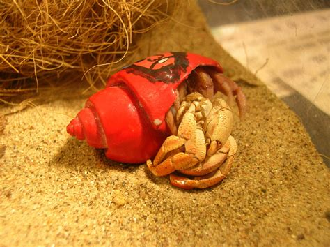Hermit Crab Shedding by Rattlesnake Molting A Photo On Flickriver