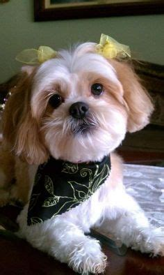 shih poo haircut pictures google search pooch shih poo pictures google search shih poo shih tzu