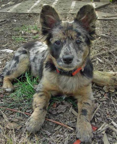 australian cattle mix puppies toad the cattle mix puppies daily puppy