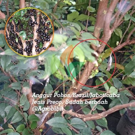 Bibit Tanaman Puring Oscar anggur pohon preco 500k agro bibit id