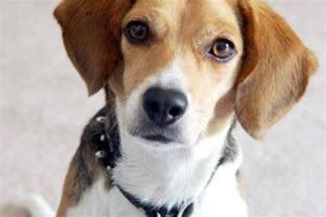 thyroid disease in dogs thyroid problems in dogs symptoms hyperthyroid symptoms