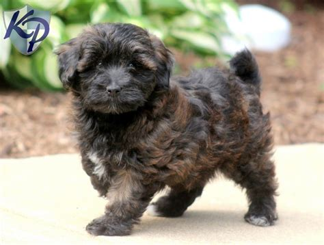 yorkie and poodle mix puppies yorkie mix puppies for sale in pa keystone puppies breeds picture