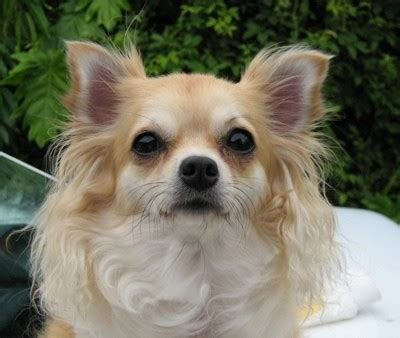 long hair chihuahua hair growth what to expect long haired chihuahua photos thriftyfun