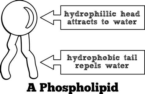 diagram of phospholipid image gallery simple phospholipid