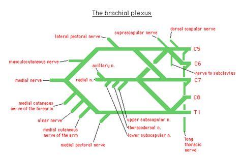 brachial plexus diagram brachial plexus diagram colored www pixshark