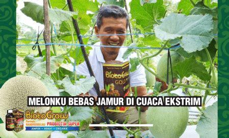 Pupuk Cair Hayati Biotogrow tanaman melon saya bebas jamur dan tetap kokoh di cuaca