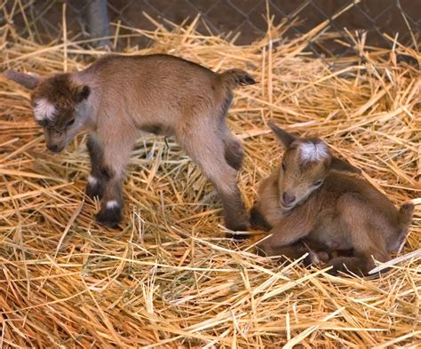 heat l for goats how to care for baby goats modern farming methods
