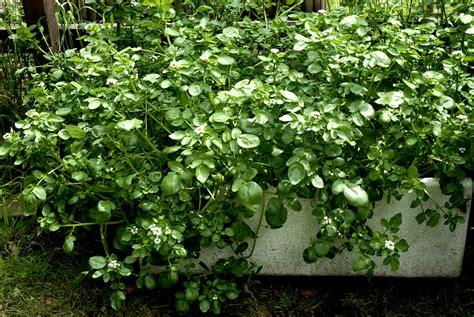 cresson de planter et cultiver ooreka