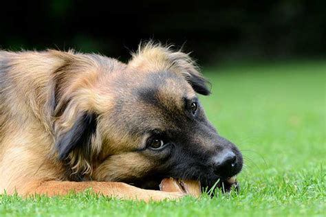 cow hooves for dogs pros and cons of cow hooves for dogs nation