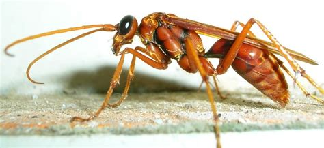 imagenes de avispas rojas the spider wasp thinglink