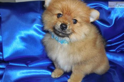 pomeranian boo for sale 17 best images about chicago hugable puppies on parks beagle puppies and