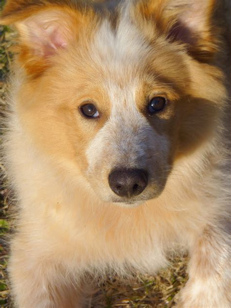 how to get a puppy from biting how to stop puppy from biting border collie aussie mix information