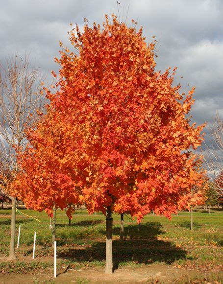 maple tree east finally we re hoping our commemoration sugar maple has colors this landscape ideas