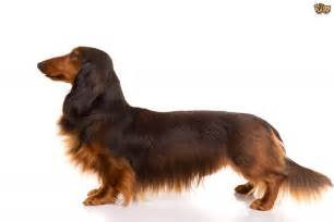 dachshund colors dachshund colors pictures breeds picture