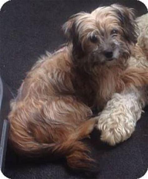 yorkie puppies for adoption nj new jersey nj maltese yorkie terrier mix meet hamilton nj kenya a