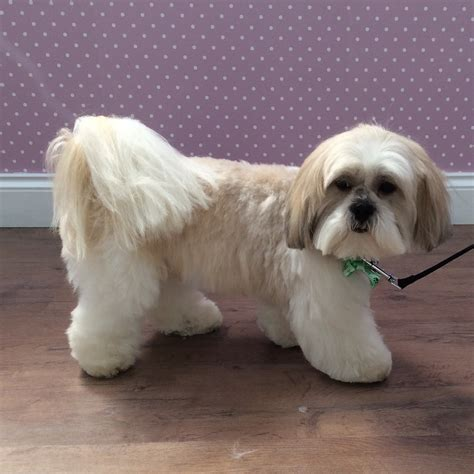 Lhasa Apso Shedding by Lhasa Apso Grooming Styles Photos Breeds Picture