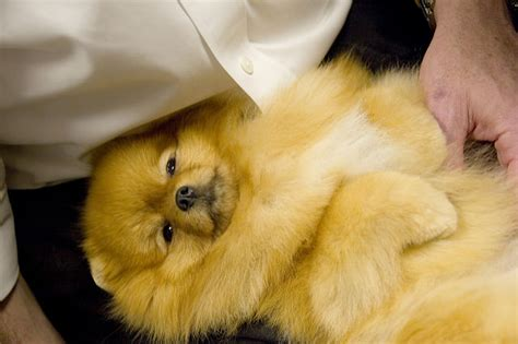 how can i tell if my pomeranian is pomeranian news stories pictures products pomeranians home