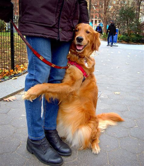 why do golden retrievers put their paw on you this retriever is obsessed with giving hugs to everyone he meets daily dosage