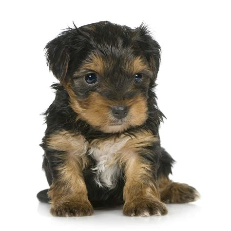 yorkie puppies information animal facts yorkie puppies