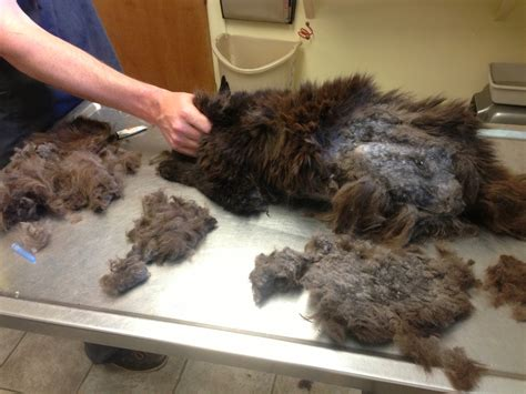 Matted Cat Fur Causes by Image Gallery Matted Cat Hair