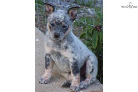 mini blue heeler puppies for sale pin miniature blue heeler puppies for sale in on