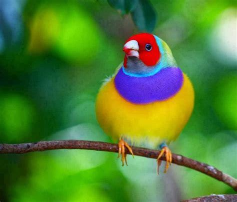 world beautiful birds gouldian finches birds