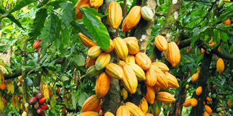 Bibit Kakao Unggul bantu petani kakao pemkab barito bagikan bibit unggul