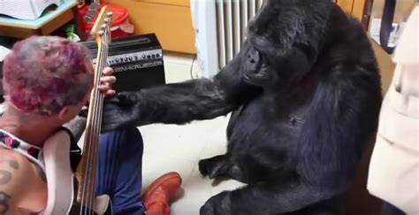 Koko Vio omg koko the gorilla just learned how to play bass guitar from chili peppers flea