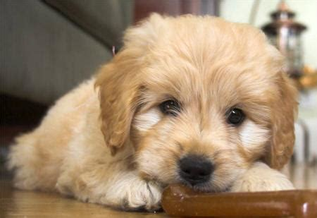 cheap goldendoodle puppies for sale coda the goldendoodle puppies daily puppy