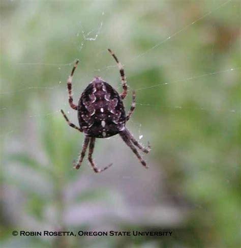 Garden Spider Pacific Northwest Cross Spider