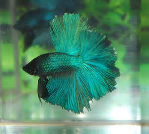 betta fish afira betta halfmoon new skyhawk sold out