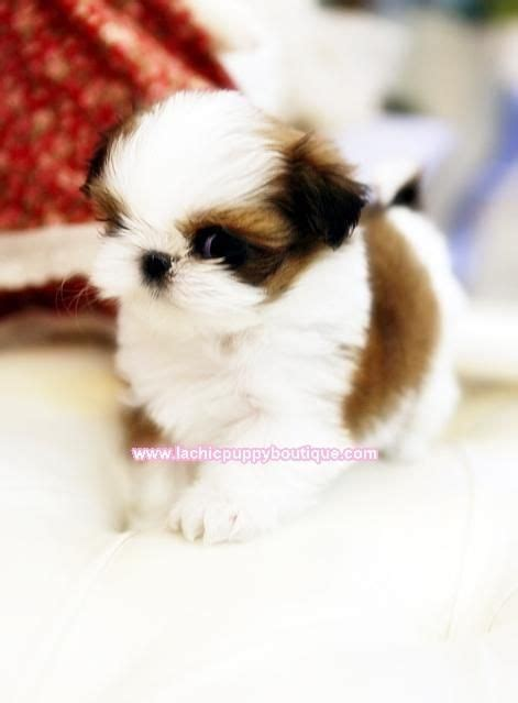 tiny shih tzu breeders best 25 maltese shih tzu ideas on shih tzu maltese mix maltese puppies